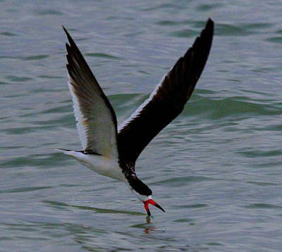 Photograph - Skimming For Dinner by Sean Allen