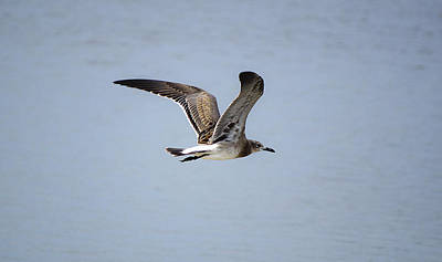 Skimming Seagull Art Print