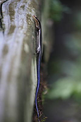 Photograph - Skink by Mandy Shupp