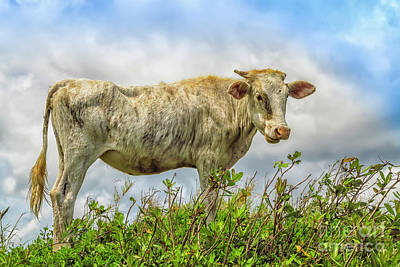 Photograph - Skinny Cow by Patricia Hofmeester