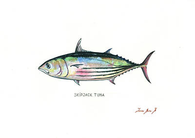 Fishing Painting - Skipjack Tuna by Juan Bosco