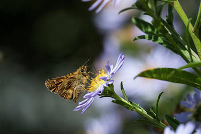 Photograph - Skipper And Aster by Robert Potts