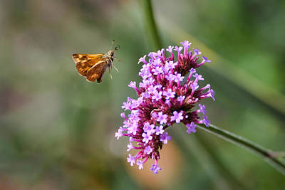 Photograph - Skipper Butterfly by Keith Boone