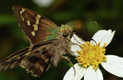 Photograph - Skipper Butterfly by Larah McElroy