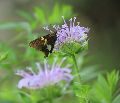 Photograph - Skipper On Bee Balm - Butterfly by MTBobbins Photography