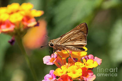 Photograph - Skipper On Lantana  by Ruth Jolly