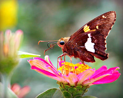 Photograph - Skipper On Pink Flower by Kathy M Krause