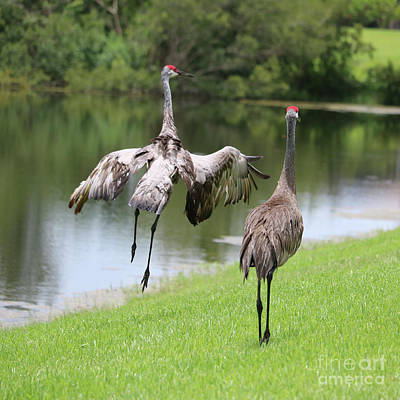 Photograph - Skipping Sandhill  by Carol Groenen