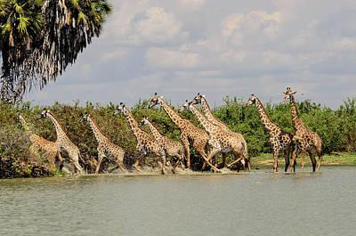 Skittish Tower Of Giraffes Art Print by John Platt