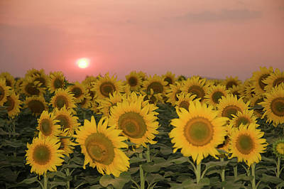 Photograph - Skn 2179 Sunflower Landscape by Sunil Kapadia