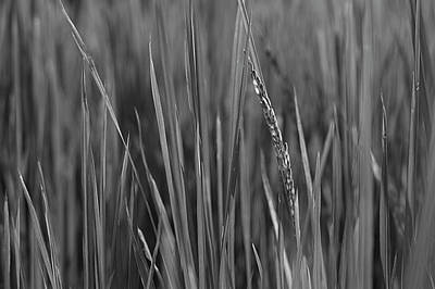 Photograph - Skn 2908 Wheat Plantation Bw by Sunil Kapadia