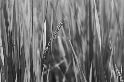 Photograph - Skn 2911 Wheat Stalk B/w by Sunil Kapadia