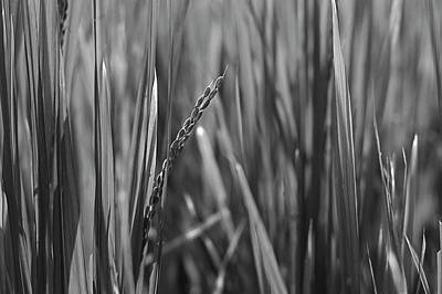 Photograph - Skn 2912 Fresh Yield B/w by Sunil Kapadia
