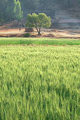 Photograph - Skn 6456 Wheat Field Color. by Sunil Kapadia