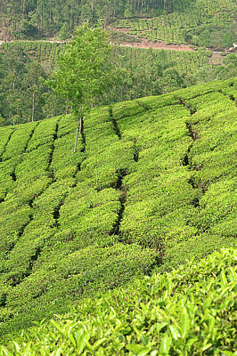 Photograph - Skn 6515 The Romance Of Tea Garden. Color. by Sunil Kapadia