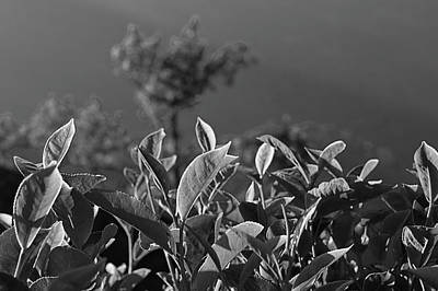 Photograph - Skn 6746 Morning Tea Cup Leaves. B/w by Sunil Kapadia