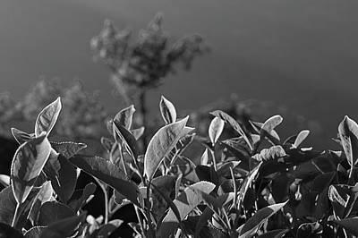 Photograph - Skn 6746 Morning Tea Cup Leaves. B/w by Sunil Kapadia