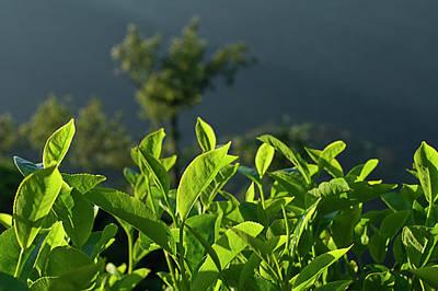 Photograph - Skn 6746 Morning Tea Cup Leaves. Color by Sunil Kapadia