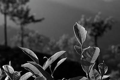 Photograph - Skn 6748 Fresh Tea Flavor. B/w by Sunil Kapadia