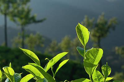 Photograph - Skn 6748 Fresh Tea Flavour. Color by Sunil Kapadia