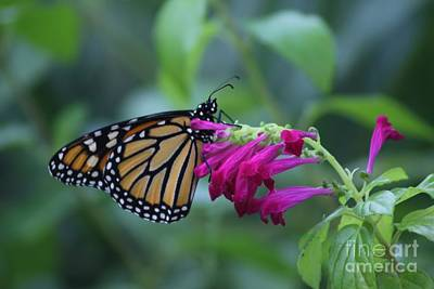 Photograph - Monarch Visit by Dodie Ulery