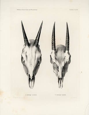 Drawing - Skulls Of The Common Duiker And Oribi by J D L Franz Wagner