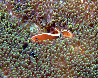 Photograph - Skunk Anemonefish, Indonesia by Pauline Walsh Jacobson