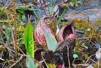 Swamp Cabbage Photograph - Skunk Cabbage 2801 by Michael Peychich