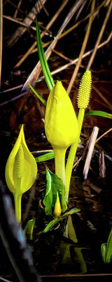 Photograph - Skunk Cabbage by Albert Seger