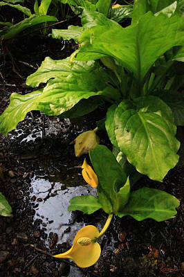 Photograph - Skunk Cabbage Beauty by Rasma Bertz