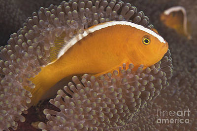 Tendrils Photograph - Skunk Clownfish by Steve Rosenberg - Printscapes