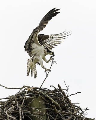 Osprey Photograph - Sky Ballet by Everet Regal