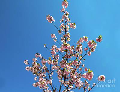 Photograph - Sky Cherry Blossom by Benny Marty
