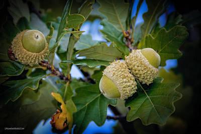 Photograph - Sky Lit Oak Acorns by LeeAnn McLaneGoetz McLaneGoetzStudioLLCcom