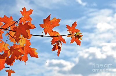 Sky View With Autumn Maple Leaves Art Print
