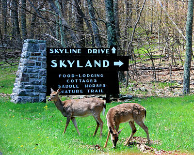 Photograph - Skyline Drive Deer by George Jones
