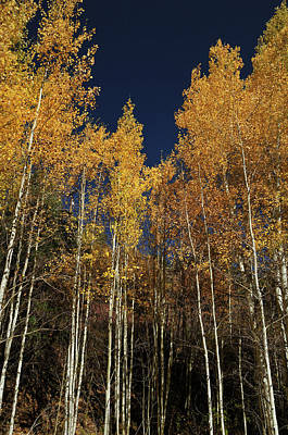 Photograph - Skyward Aspens by Ron Cline