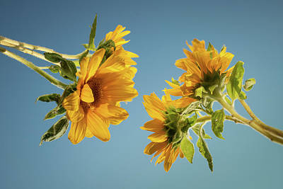 Sunflowers Royalty-Free and Rights-Managed Images - Skyward Sunflowers by Steve Gadomski