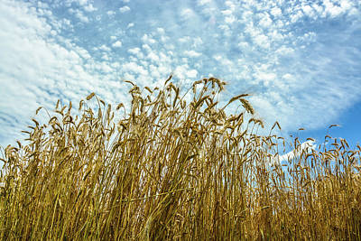 Photograph - Skyward Wheat by Tana Reiff