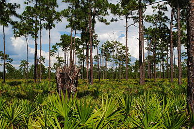 Slash Pine And Saw Palmetto Art Print by Steven Scott