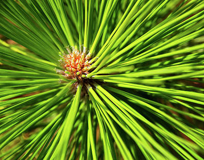 Slash Pine Needles Art Print
