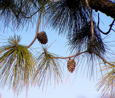 Photograph - Slash-pine Pine Cones  by Terri Mills