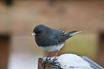 Classic Christmas Movies - Slate Junco Feeding in Snow by Douglas Barnett