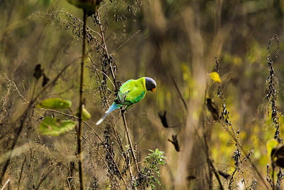Photograph - Slaty-headed Parakeet by Ramabhadran Thirupattur