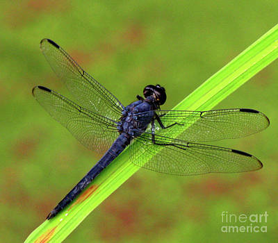 Photograph - Slaty Skimmer Dragonfly by Donna Brown