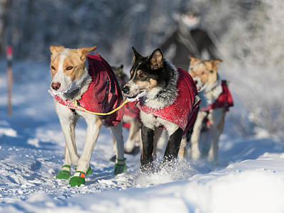 Photograph - Sled Dog Team by Scott Slone