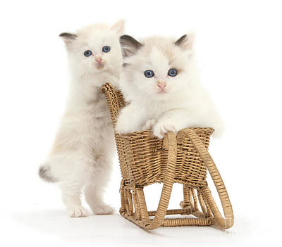 Photograph - Sledging Kittens by Warren Photographic
