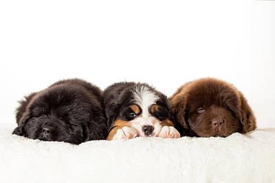 Newfoundland Puppy Photograph - Sleep All Day by Jennifer Fisher