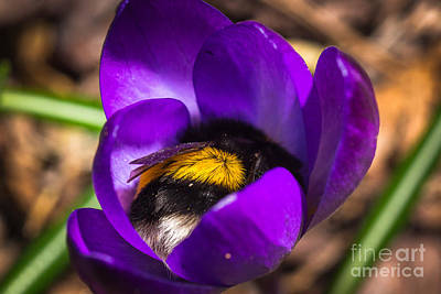 Photograph - Sleep Well My Little Bumblebee by Ismo Raisanen