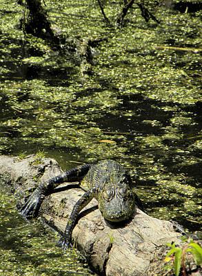 Photograph -  Sleeping Alligator 000 by Chris Mercer